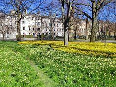 The Meadows/Bruntsfield Links in Edinburgh. Daffodils in the Spring  by thewanderingjean