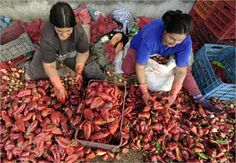 Cleaning peppers to make Paprika, Macedonia Macedonian Food, Bulgaria, Night Life, Beautiful Things, Don't Forget, Countries, Europe, Cap, Culture