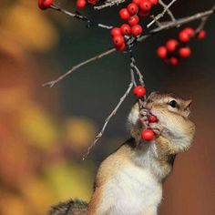 #Repost @gabriele.corno #awesome #amazing #cool #colors #magic #majestic  #lit #light #love #life #Hope #Harmony #Horizons #Idyll #Imagine #Inspired #Incredible #Follow #PhotOfTheDay #Wonderland #Fairytale #autumn #squirrel #berries #awakening #mesmerizing #enchanted