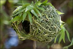 The Nest of a Southern Masked Weaver - Ploceus velatus by jpmckenna - In the Yukon!, via Flickr