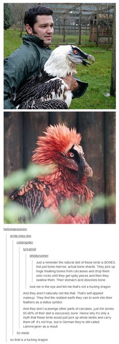 The most metal birds you'll ever meet, the bearded vulture >> they look like those three dragons that's fly around hyrule, freaking terrifying but awesome Animal Original, Funny Animals, Cute Animals, Funny Birds, Scary Animals, Metal Birds, Tier Fotos, Vulture, Tumblr Posts