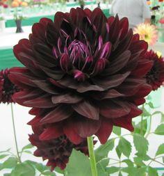 Dahlia 'Hollyhill Black Beauty'