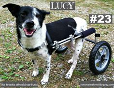 Meet Lucy! The 23rd dog helped with a wheelchair through The Frankie Wheelchair Fund.