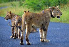 Tuto lví smečku postihla nějaká zlá nemoc. Lvíčata jsou pohublá slabá a poseta otevřenými boláky. Lvů ubývá a přesto se najdou trofejní lovci.