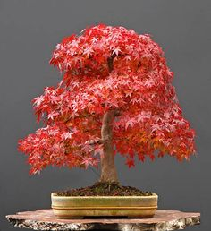 30 year old Japanese maple bonsai. I need to get me one of these!