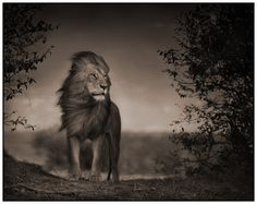 Nick Brandt photography. S) I just love the way Nick Brandt captures these amazing animals.