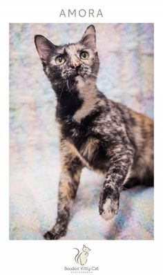 GALLATIN, TN - Safe Place For Animals, AMORA is an adoptable Tortoiseshell searching for a forever family near Gallatin, TN. Use Petfinder to find adoptable pets in your area.