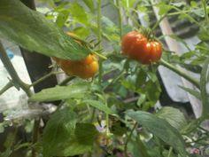 My organic tomatoes