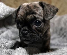 Cute Brindle Pug Puppy Pug Love Brindle pug, Pugs, Pug