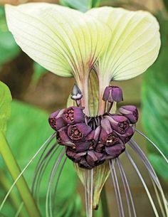 Tacca integrifolia orchid