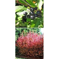 Black Chokeberry Tree, Northwoods Nursery, $7.95,  produces edible fruit.,  around 6 feet tall when fully mature.  full sunlight or partial sunlight. Shipping Size: 3-4 Feet GROWING ZONES: 3-10 / SUN EXPOSURE: Full or partial sun