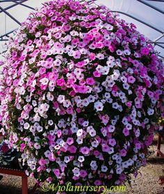 Supertunia Vista Bubblegum and Supertunia Vista Silverberry