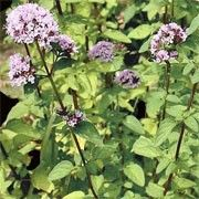 Marjoram/Worthwhile in your habitat. Summer Flowers, Purple Flowers, Herb Garden, Lawn And Garden, British Wild Flowers, Bee Friendly Plants, Flower Identification, Living Off The Land, Gardening