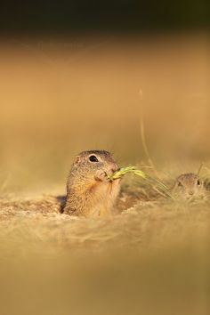 Sysel obecný (Spermophilus citellus) - The European ground squirrel by Petr Vinš on 500px