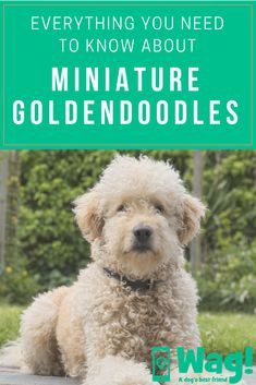 Popular for their trainability and pleased dispositions, the golden and Labrador retrievers are the option pet for many American families. They are also popular as special needs support dogs. Minature Goldendoodle, Goldendoodle Full Grown, Goldendoodles, Medium Sized Dogs, Medium Dogs, Dog Organization, Bulldog Breeds, Dog Best Friend, Popular Dog Breeds