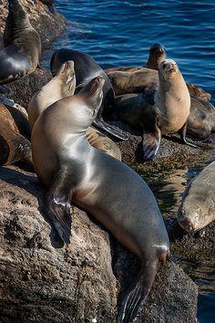 Barking Seals - Monterey Penninsula, California The Republic of Joy Richard Preuss Joy Richard  Preuss Horoscope
