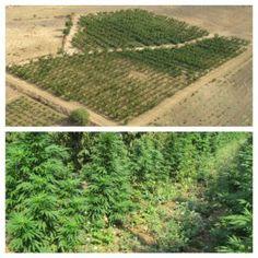 Piantagione di marijuana  da 3000 piante scoperta dai carabinieri, avrebbe…#giornalenisseno #tcs116 #gela