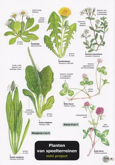 edible weeds found in new mexico English Flowers, Weed Plants, Biology Teacher, Plant Identification, Outdoor Learning, Forest School, School Readiness, Nature Journal, Edible Plants
