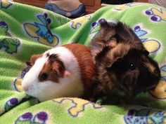 Chewy and Bear :) Hamsters, Rodents, Pig Pics, Guniea Pig, Pig Family, Baby Guinea Pigs, Pig Stuff, Cute Piggies, Little Critter