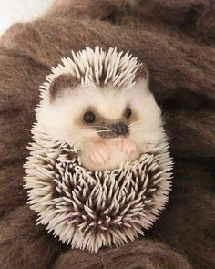 Baby Animals Super Cute, Cute Little Animals, Cute Funny Animals, Hedgehog Pet, Cute Hedgehog, Hedgehog Habitat, Baby Animals Pictures, Cute Animal Photos, Silly Pictures