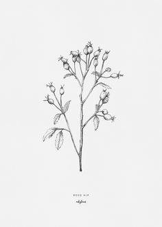 Drawing of the rose hip by inkylnes, the fruit of a rose. Rose hips belong in the autumn bouquet; they bring home a beautiful autumn atmosphere.