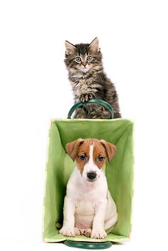 DOK 01 JE0006 01 © Kimball Stock Jack Russell Terrier Puppy And Norwegian Forest Cat Kitten Sitting With Green Basket On White Seamless