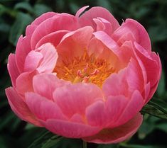 "Peonies/Paeonia--'Abalone Pearl' One of the first to bloom this delicate beauty helps to welcome in the warm spring temperatures. Peony 'Abalone Pearl' is a graceful coral-pink with a sunny golden centre. Lightly scented.  Size: 32"". Bloom time: Early. Plant zones: 2-8. Code: 5PEOABAP. Flower type: Hybrid. Semidouble.  Hybridizer(s): William Krekler  Colour: Corals Light Requirements: full sun  Bare Root Size: 3-5 EYE   Klehm's Song Sparrow Farm and Nursery"