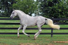 Mannhattan - warmblood stallion