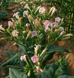 nicotiana tabacum, the tobacco plant, nicotine comes from the dried  leaves of the plant and is HIGHLY toxic.  causing excitement and eventual depression of the central nervous system, causes respiratory failure, and birth defects