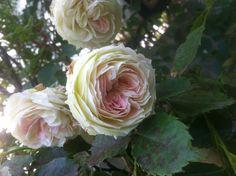mm rose