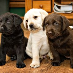 labs are adorable....i will have a chocolate one eventually.