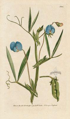 Lathyrus Sativus. Blue-Flower'd Lathyrus, or Chichling-Vetch. from William Curtis Botanical Magazine 1st Edition Prints Vol 1-6 1787