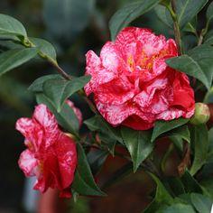 Camellia japonica 'Magic City' (U.S., 1961)