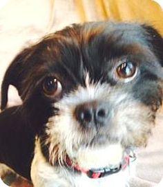 18 Best Bo Shih Images Boston Terrier Boston Terriers Shih Tzu Mix