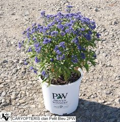 Compact form, Petit Blue Caryopteris' flowers attract butterflies in the summer.