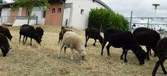 """""""On appelle cela de l'éco-pâturage, et c'est plutôt novateur localement""""... http://www.rjfm.net/news/a-montlucon-des-moutons-plutot-que-des-produits-phyto-sanitaires-984"""