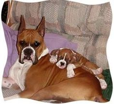 how cute is this love Boxer with floppy ears