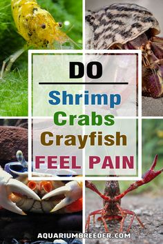 Do Crabs, Crayfish or Shrimp Feel Pain?