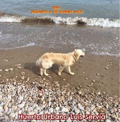 KYRA la Golden Retriever vigilando a sus jóvenes amos, Julia y David, mientras se bañan en el mar.