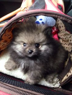 #Timber the #pomeranian puppy