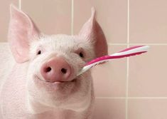 35 Funny Pics ~ cute smiling pig with toothbrush
