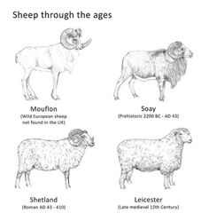 Sheep through the ages by Wessex Archaeology on Flickr. Sheep through the ages Illustration by Will Foster