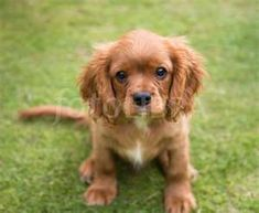 Puppies Dog Breed Information Image Pictures: Cavalier King Charles Spaniel Puppies Spaniel Breeds, Spaniel Puppies, Dog Breeds, Dogs And Puppies, Doggies, King Charles Dog, King Charles Spaniel, Cavalier King Charles, King Spaniel