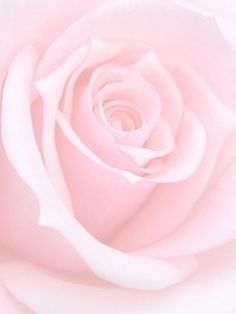 A hint of pink rose