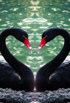 I have ALWAYS favored the white swan.but there is something magical about the black swan. Beautiful Swan, Beautiful Birds, Animals Beautiful, Pretty Birds, Love Birds, Swans, Animals And Pets, Cute Animals, Heart In Nature