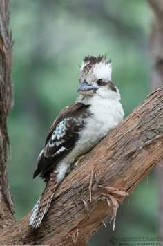 The Laughing Kookaburra (Dacelo novaeguineae) is a carnivorous bird in the kingfisher family Halcyonidae.