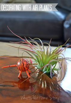 decorating with air plants, Tillandsia