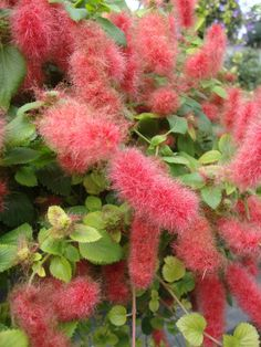 20 Best Red Hot Cat Tail Plants Images In 2014 Chenille Plant Cat