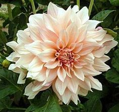 #Snippet for #The Lab2013 - My favorite flower that has these tones of pale peach, pale pink, taupe and beige...always big beautiful and gorgeous.