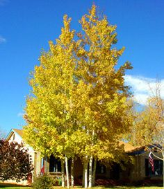 Trees of Ohio: Quaking Aspen....i got four of these with an Arbor Day foundation membership